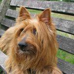 australian-terrier